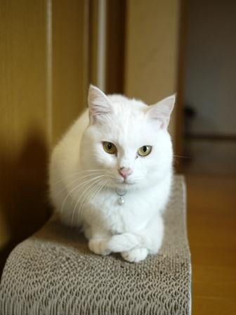 猫のお留守番 ゆきちゃんゆめくんあられくん編。_a0143140_2058716.jpg
