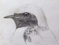 病院で描いた『野鳥のスケッチ』2_a0083553_812483.jpg