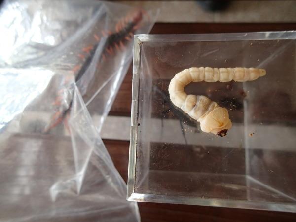 タマムシの幼虫_b0135573_06422965.jpg