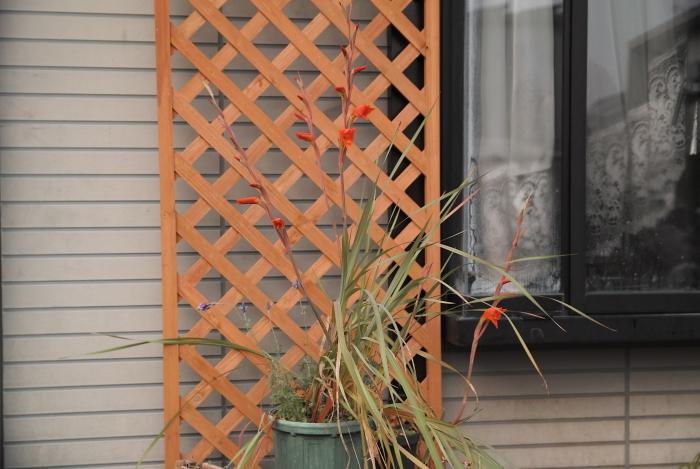 Gladiolus dalenii_a0194582_09390369.jpg