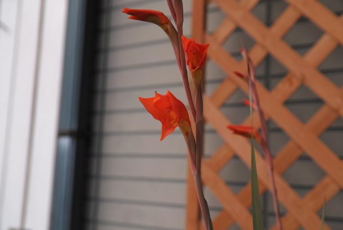 Gladiolus dalenii_a0194582_09390492.jpg