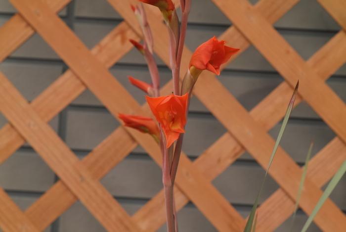 Gladiolus dalenii_a0194582_09390546.jpg