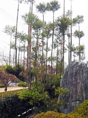 台杉の仕立て_f0045132_16323075.jpg