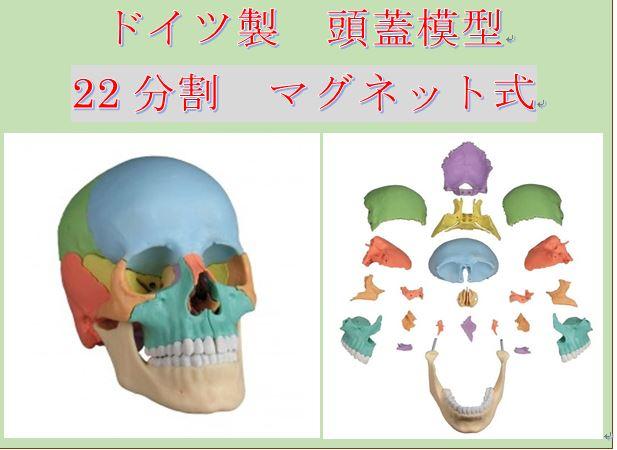 頭蓋マグネット模型 _b0175343_23464530.jpg