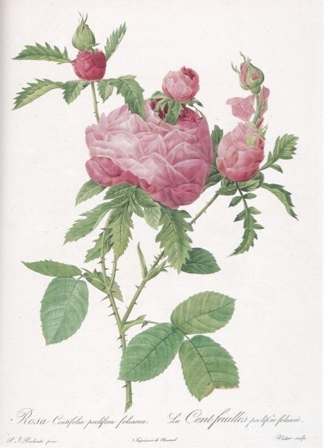 山梨県立美術館で開催中「花の画家 ルドゥーテのバラ」展 見どころ(5)_e0356356_19291815.jpg