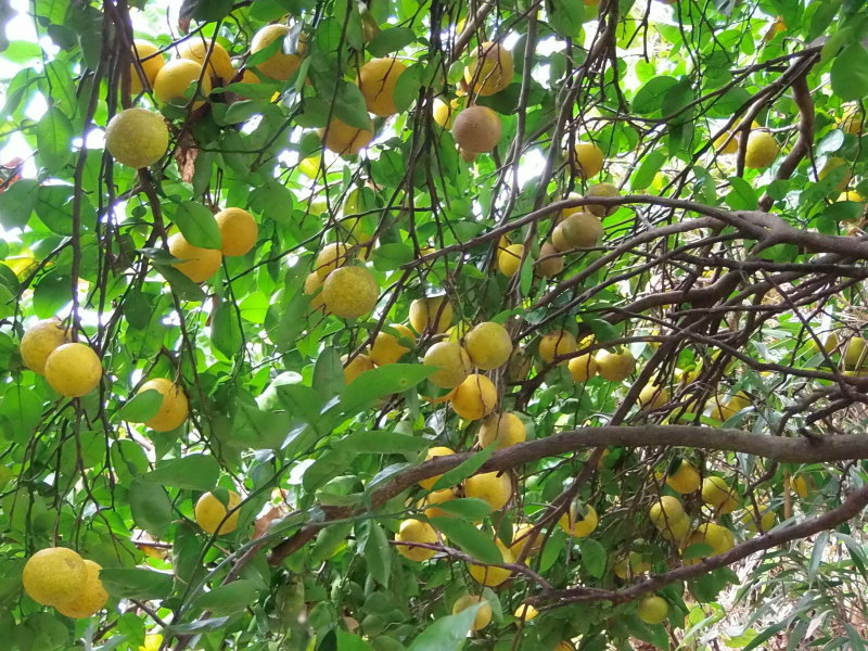 雨の中の「かぼす、柚子」狩りへ。_a0125419_11315990.jpg
