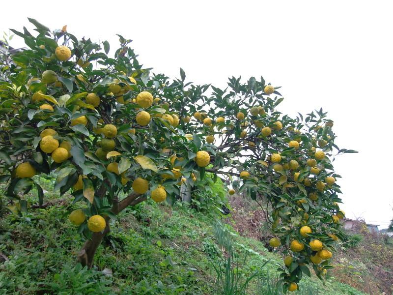 雨の中の「かぼす、柚子」狩りへ。_a0125419_11395225.jpg
