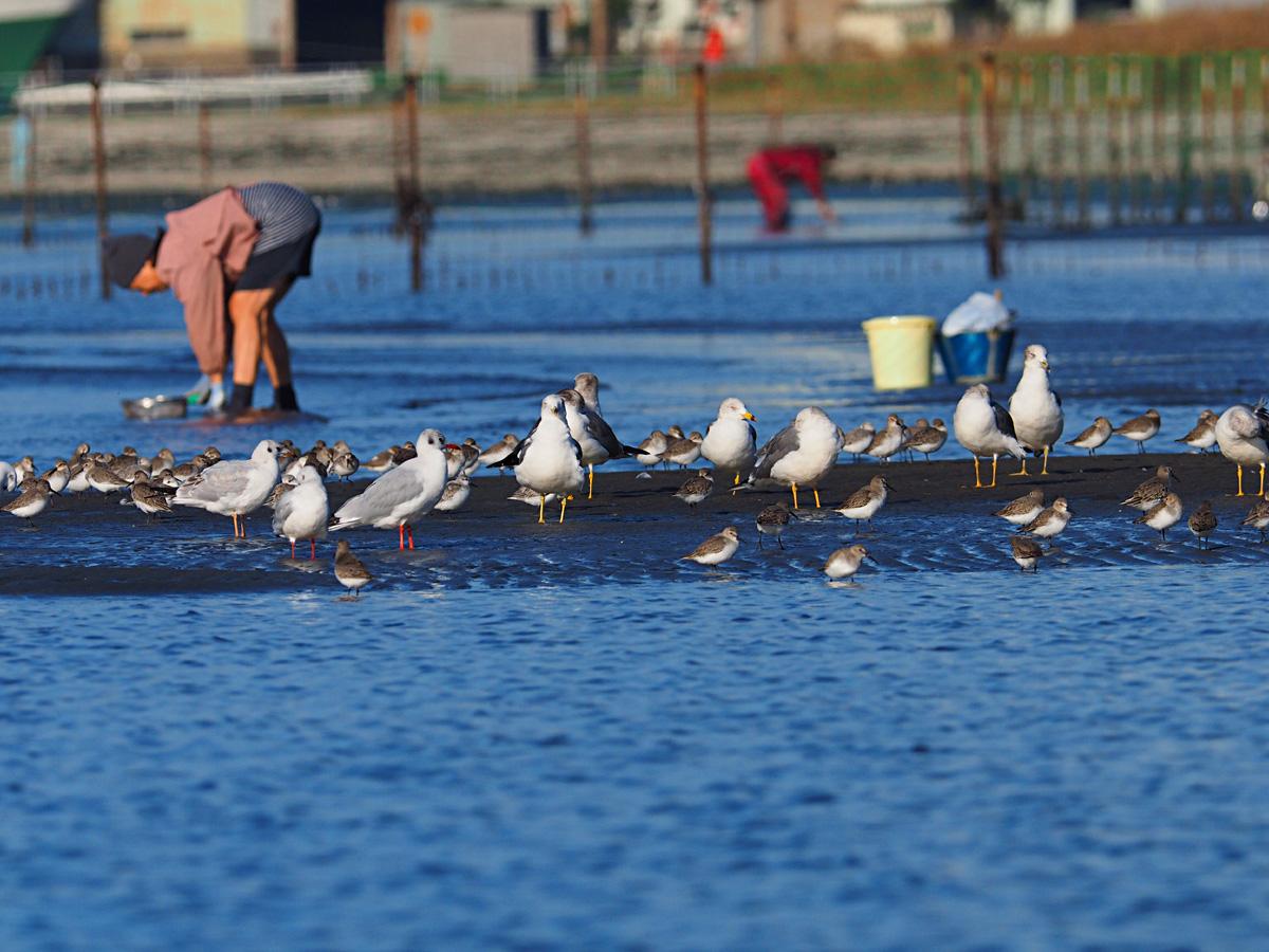 アサリ獲りを楽しむ人と野鳥_d0283373_1751687.jpg