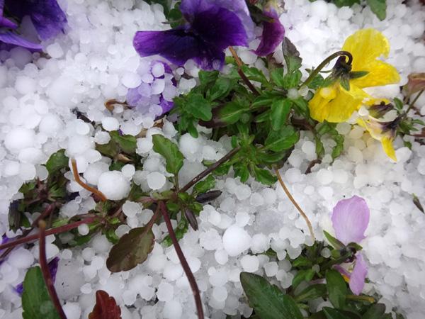 初雪では無くて、雹と霰で庭は真っ白に~~^^_a0136293_17142892.jpg