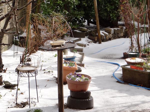 初雪では無くて、雹と霰で庭は真っ白に~~^^_a0136293_17181383.jpg