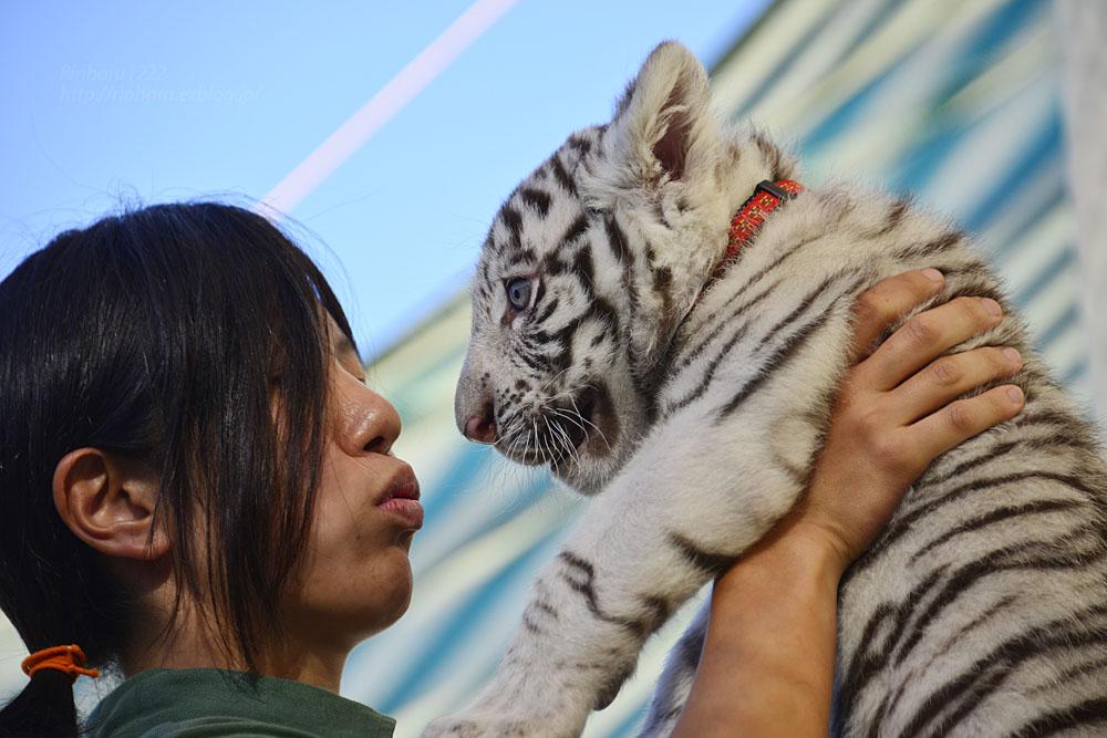2015.9.20 那須サファリパーク☆ホワイトタイガーのマハロ<お仕事編>【White tiger baby】_f0250322_23221472.jpg