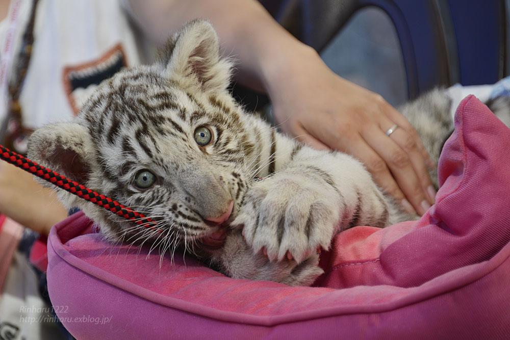 2015.9.20 那須サファリパーク☆ホワイトタイガーのマハロ<お仕事編>【White tiger baby】_f0250322_23222015.jpg