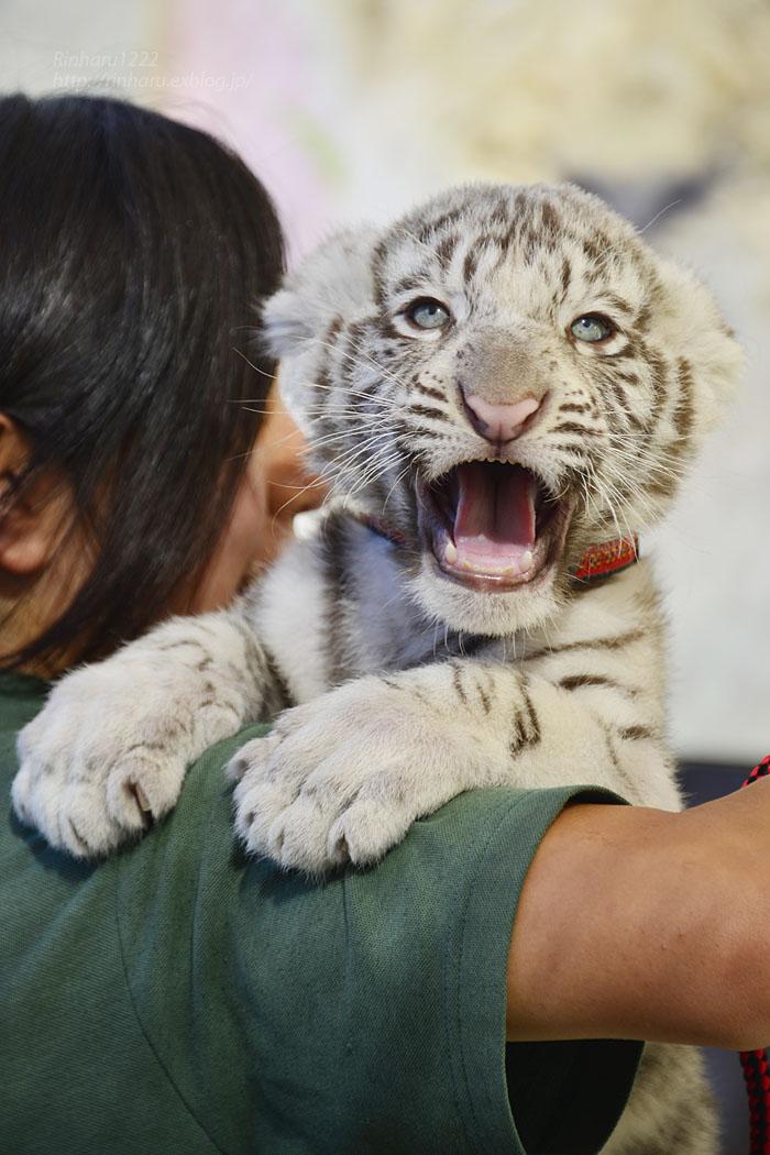 2015.9.20 那須サファリパーク☆ホワイトタイガーのマハロ<お仕事編>【White tiger baby】_f0250322_23222728.jpg