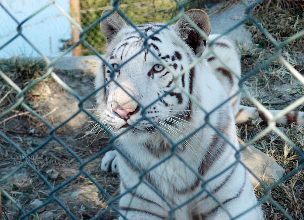 2015.10.25 群馬サファリパーク☆ホワイトタイガーのクラウンちゃん【White tiger】_f0250322_23402539.jpg