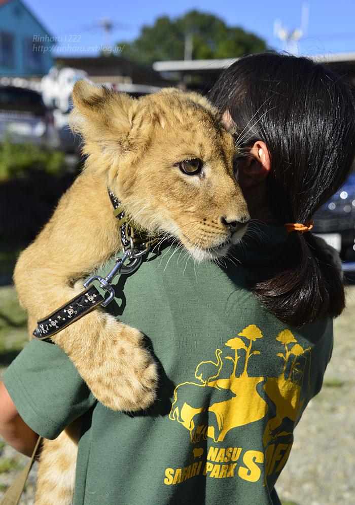 2015.9.20 那須サファリパーク☆ライオンののぞむさん【Lion baby】_f0250322_2353170.jpg