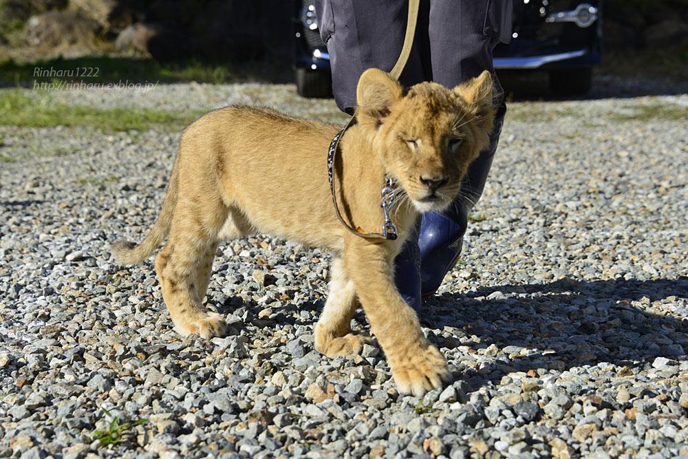 2015.9.20 那須サファリパーク☆ライオンののぞむさん【Lion baby】_f0250322_2353721.jpg