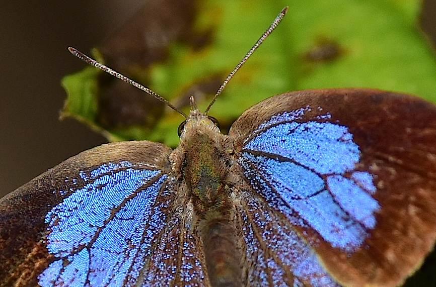 裏翅を撮りたいルーミスシジミ(2015年11月29日) _d0303129_1361011.jpg