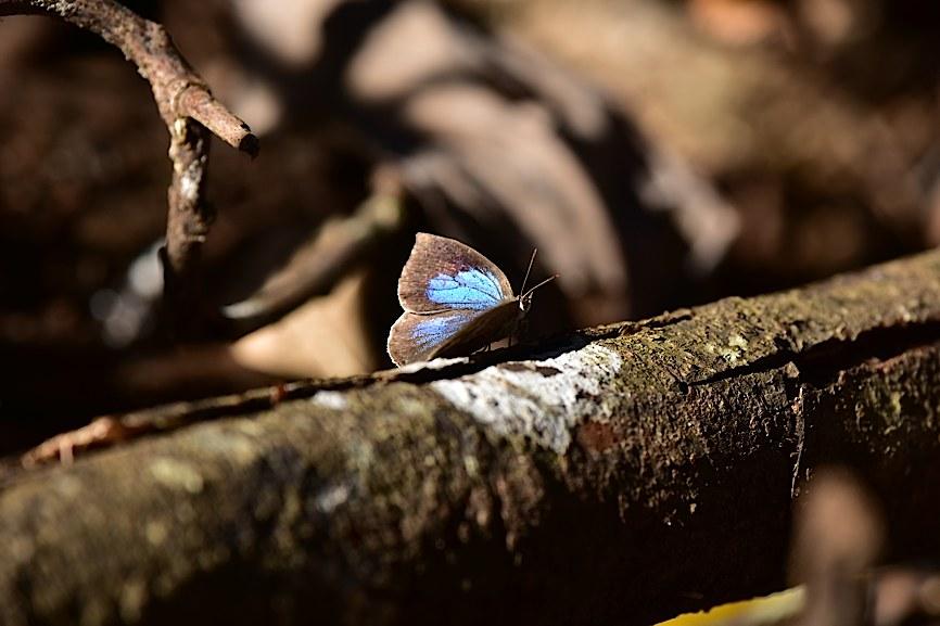 裏翅を撮りたいルーミスシジミ(2015年11月29日) _d0303129_1373180.jpg