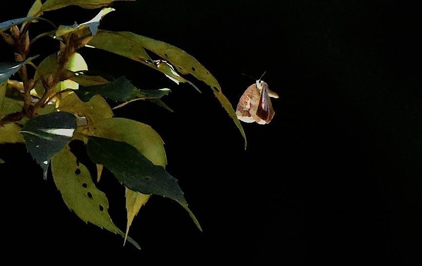 裏翅を撮りたいルーミスシジミ(2015年11月29日) _d0303129_1375988.jpg