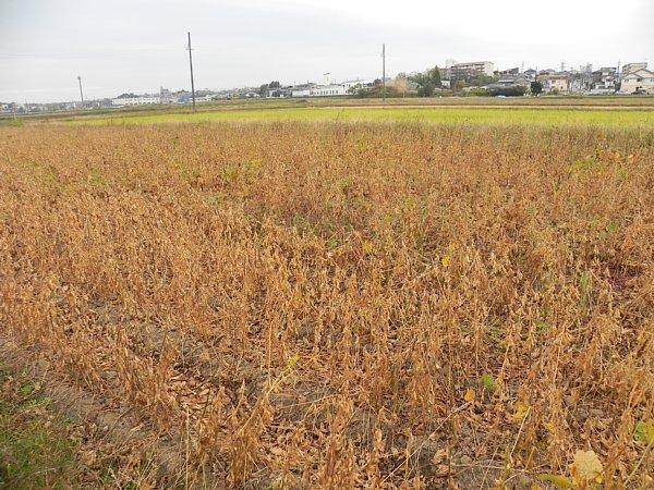 2015年11月30日 ウォーキングロード沿いの大豆畑 _b0341140_16115761.jpg