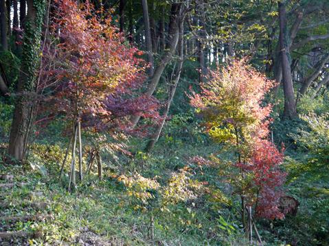 六国見山へ最初に植樹したイロハモミジ色付き始める11・30_c0014967_94226.jpg