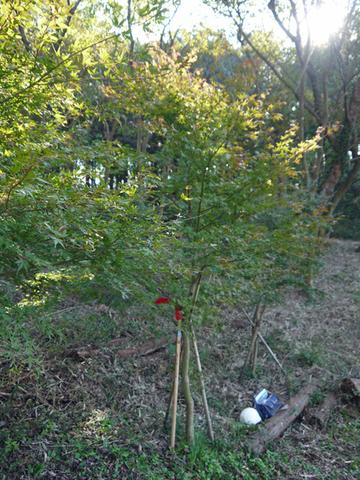 六国見山へ最初に植樹したイロハモミジ色付き始める11・30_c0014967_944199.jpg
