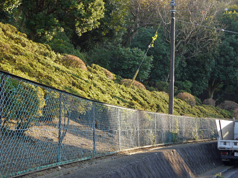 六国見山へ最初に植樹したイロハモミジ色付き始める11・30_c0014967_9630100.jpg