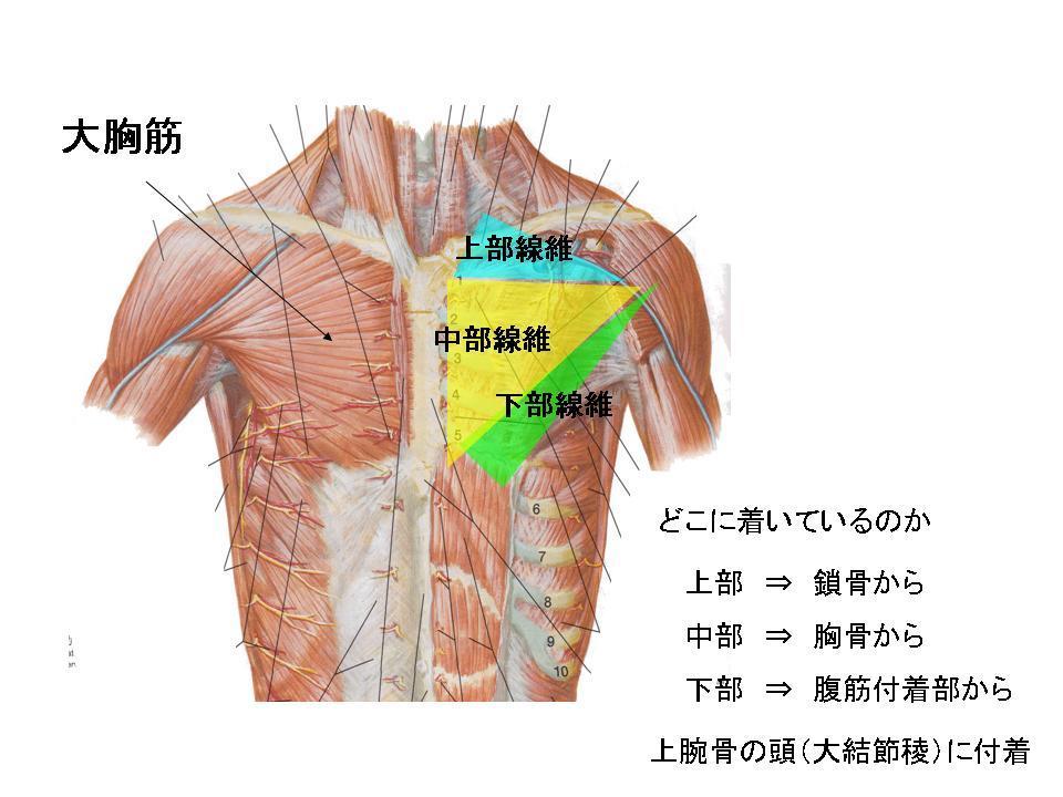 パフォーマンスを高めるストレッチ(胸郭、胸部)_c0362789_11575309.jpg