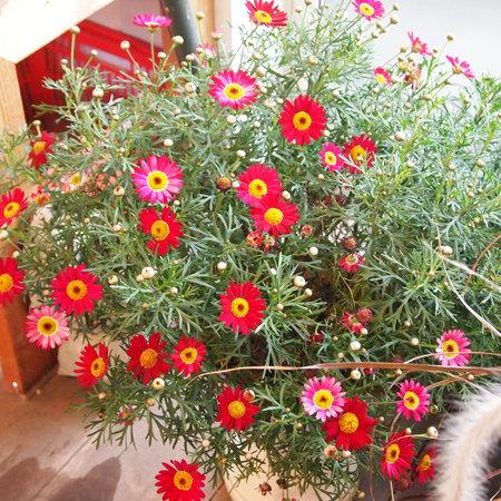 マーガレット、室内でも花盛り_a0292194_20101415.jpg