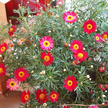 マーガレット、室内でも花盛り_a0292194_20103672.jpg