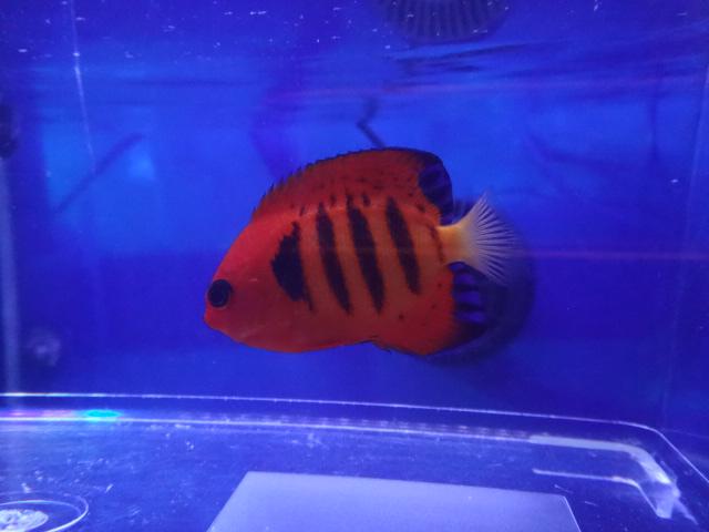 151202 海水魚・水草・淡水魚_f0189122_131415.jpg