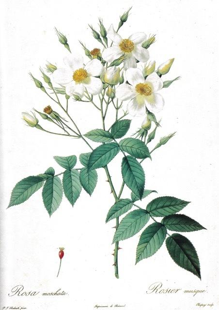 「花の画家 ルドゥーテのバラ」展 見どころ(7) 一重のバラ 直角三角形になったウーラちゃん!_e0356356_18443677.jpg