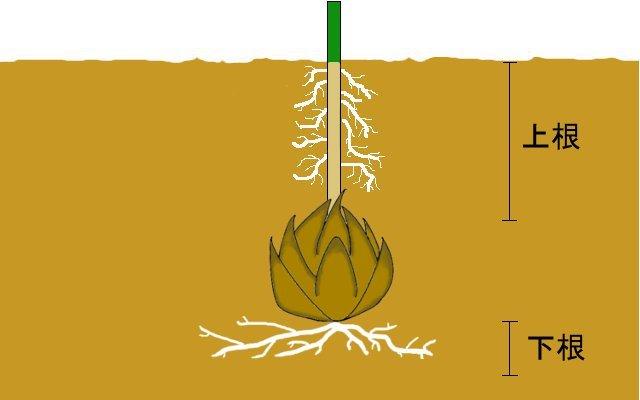 大人になっても心に残る  ~百合の球根の植え方~_a0107574_19475731.jpg