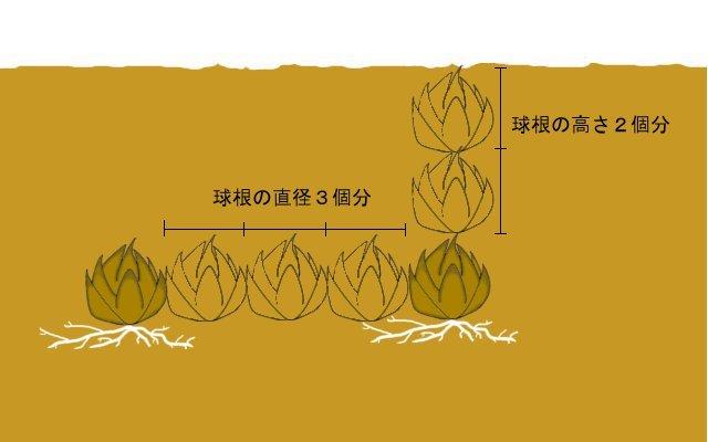 大人になっても心に残る  ~百合の球根の植え方~_a0107574_19493787.jpg