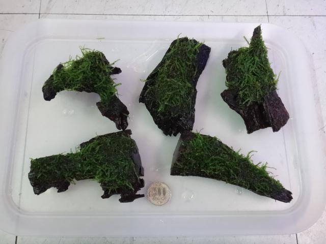 151203 熱帯魚・金魚・侘び草・水草_f0189122_13413077.jpg