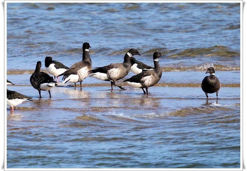 今シーズンも、最寄りの海辺に、コクガンが飛来_b0346933_5554082.jpg