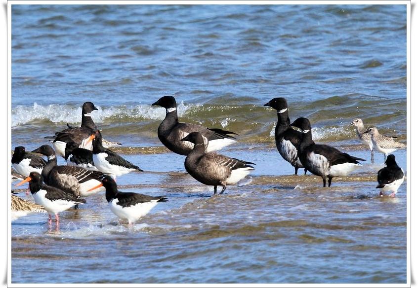 今シーズンも、最寄りの海辺に、コクガンが飛来_b0346933_5554815.jpg
