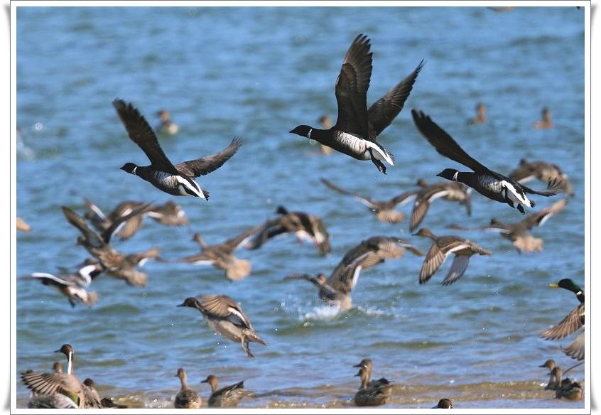 今シーズンも、最寄りの海辺に、コクガンが飛来_b0346933_5555534.jpg