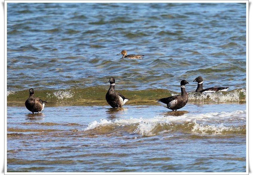 今シーズンも、最寄りの海辺に、コクガンが飛来_b0346933_556280.jpg