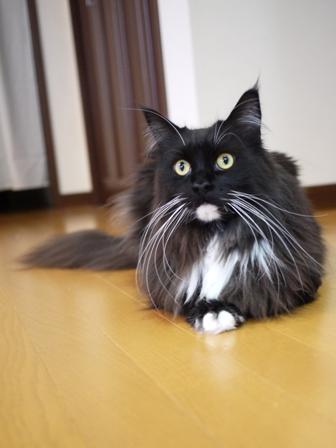 猫のお留守番 ワサビちゃん天ちゃんう京くん編。_a0143140_22334525.jpg