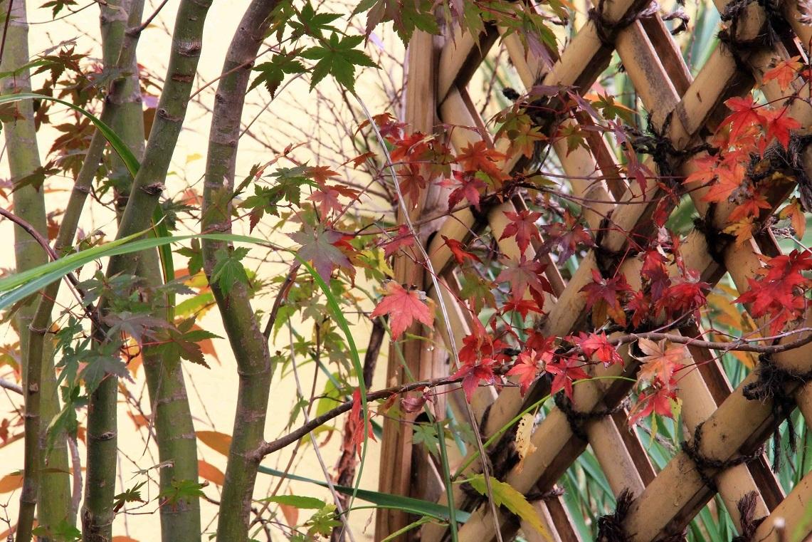 はかなさを感じる師走  ~イロハモミジの紅葉~_a0107574_17240278.jpg