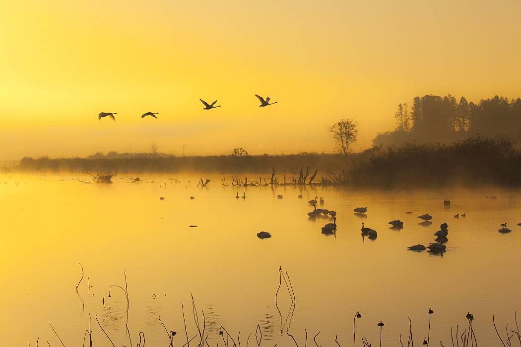 伊豆沼の白鳥、その1_c0077395_08143138.jpg