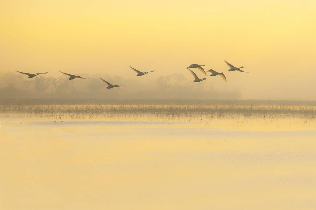 伊豆沼の白鳥、その1_c0077395_08145871.jpg