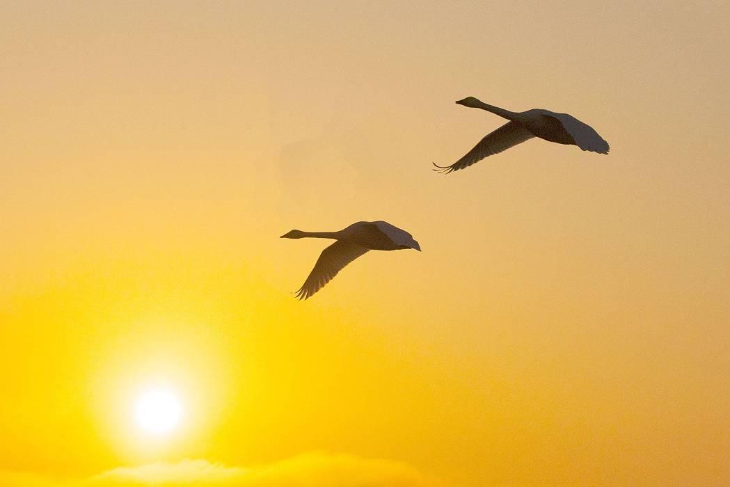 伊豆沼の白鳥、その1_c0077395_08153037.jpg