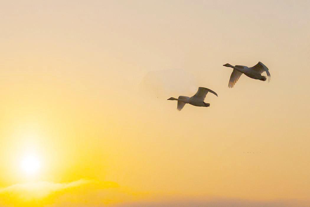 伊豆沼の白鳥、その1_c0077395_09282883.jpg