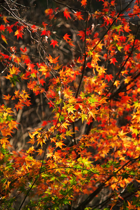 佐野市 蓬莱山の紅葉2_a0263109_2036899.jpg