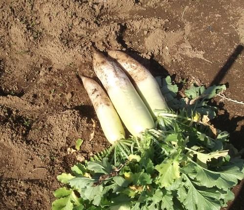白菜の出陣..保存野菜作り_b0137932_22273810.jpg