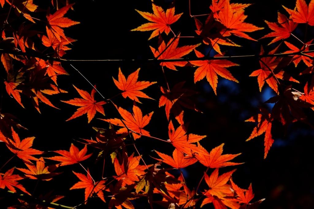 根津神社 2015 最後の秋の光_f0050534_21012987.jpg