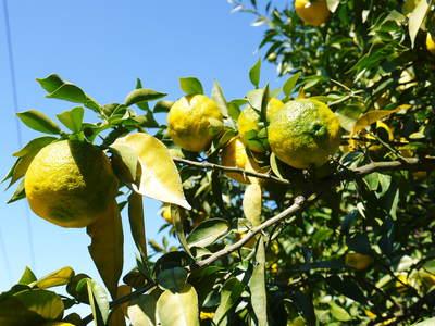 令和元年度の香り高き柚子『あっぱれ』数量限定再入荷します!『冬至用柚子』残りわずかですお急ぎ下さい!!_a0254656_17412847.jpg