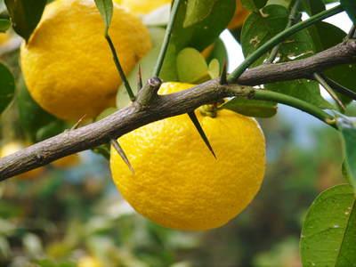 令和元年度の香り高き柚子『あっぱれ』数量限定再入荷します!『冬至用柚子』残りわずかですお急ぎ下さい!!_a0254656_17503383.jpg